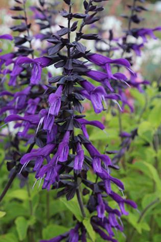 Salvia Guaranitica Purple Majesty