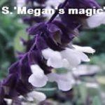 S.'Megans Magic'