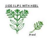 Salvia stem & Heel. (2) JPG