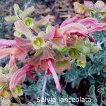 S. lanceolata