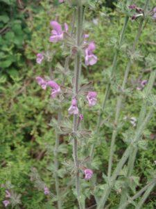 salvia-disermas-darker-pink-form-08-11-04